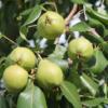 Заготовки из зеленых груш на зиму