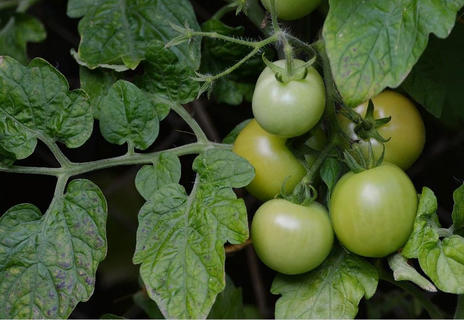 Бурые томаты на ветке
